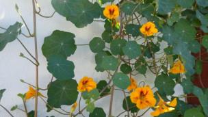 Audio «Blütenpracht mit einjährigen Kletterpflanzen» abspielen.