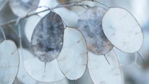 Audio «Die Mondviole mit ihren Silberblättern» abspielen.