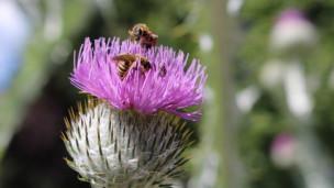 Audio «Disteln bieten viel für die Biodiversität» abspielen.