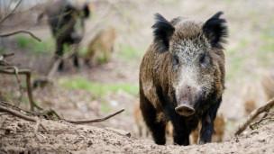Audio «Afrikanische Schweinepest rückt näher» abspielen.