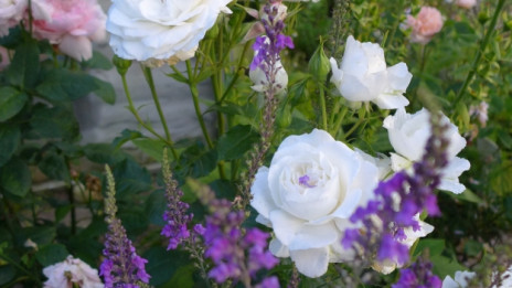 Audio «Welche Stauden passen zu Rosen?» abspielen.