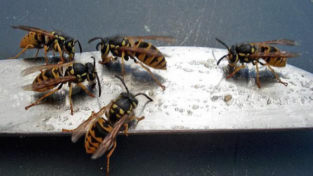 Ein Messer voller Wespen. Aufgenommen vor ein paar Tagen nach dem Frühstück draussen. Auch das gehört zum Sommer! (Franziska Jung)