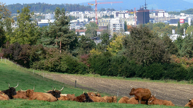 Am Stadtrand: weidende Hochlandrinder in Zürich-Schwamendingen.