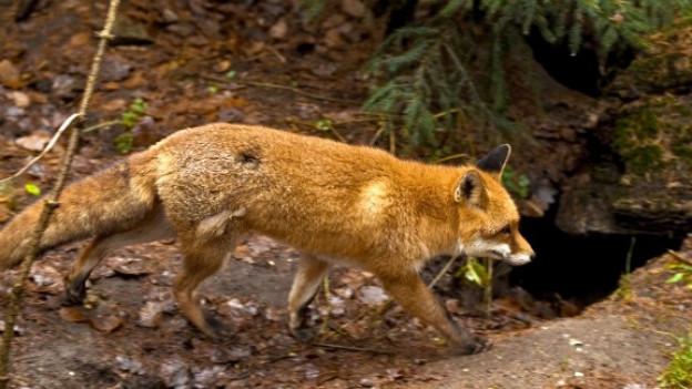 Fuchs vor seinem Bau