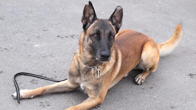 Belgischer Schäferhund «Ain» folgt aufs Wort.