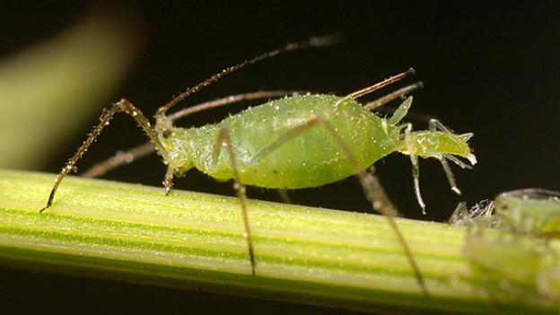 Eine grüne Blattlaus saugt sich an einem Stängel genüsslich den Mund voll.
