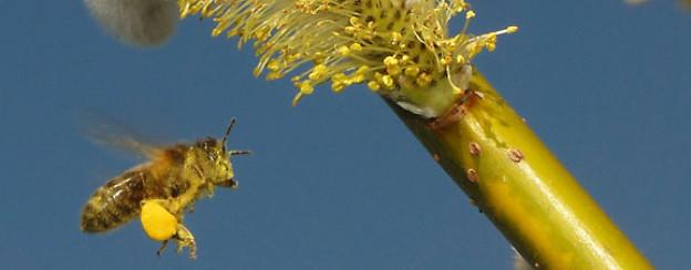 Bild einer Biene in meinem Garten: Bienenfleiss!