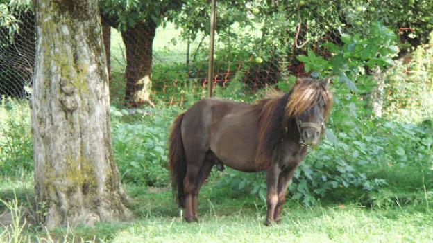Eines der vielen Ponys von «Aschi».
