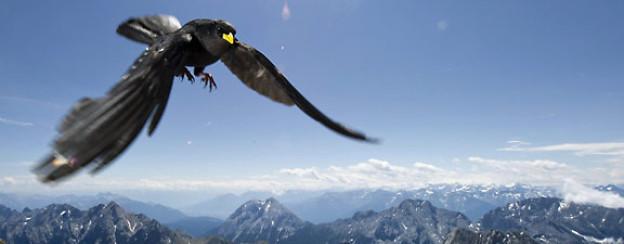 Eine Alpendohle, auch Berg- oder Jochdohle genannt, fliegt auf den Gipfel der Zugspitze bei Grainau.