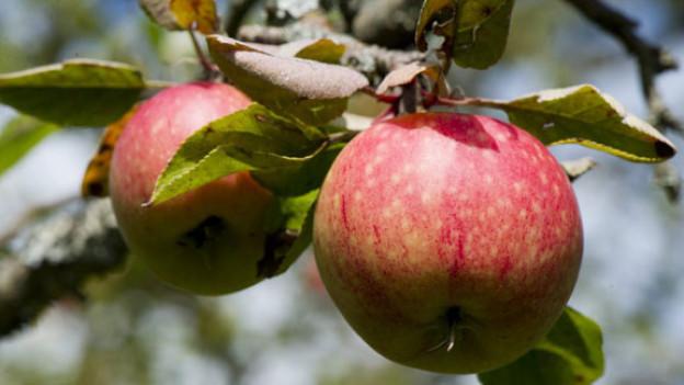 Jetzt sind sie reif, die Schweizer Äpfel.