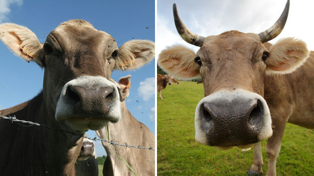 Kühe: Ohne oder mit Hörner?
