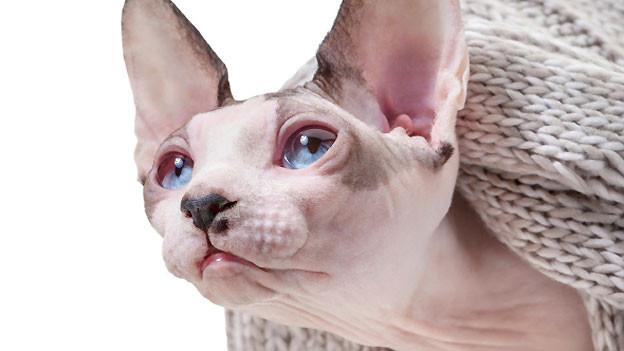 Wenn es um sogenannte Qualzucht geht, wird zum Beispiel auf Nacktkatzen verwiesen. Durch die Zucht verlieren die Tiere auch ihre Tasthaare und müssen mit einem gestörten Wärmehaushalt auskommen. Unter natürlichen Bedingungen wären sie somit nicht lebensfähig.