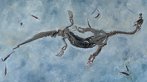 Sehr gut erhaltenes Fossil in einem Ausstellungsraum des Fossilienmuseums von Meride, aufgenommen am 18. März 2004. In diesem Museum kann man einige der bedeutendsten Funde vom Monte San Giorgio bewundern. Keine andere Berglandschaft der Schweiz birgt eine grössere Vielfalt an gut konservierten Fossilien.