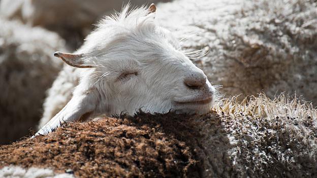 Merinoschafe geben zwischen 2 und 4 Kilogramm Wolle pro Jahr.