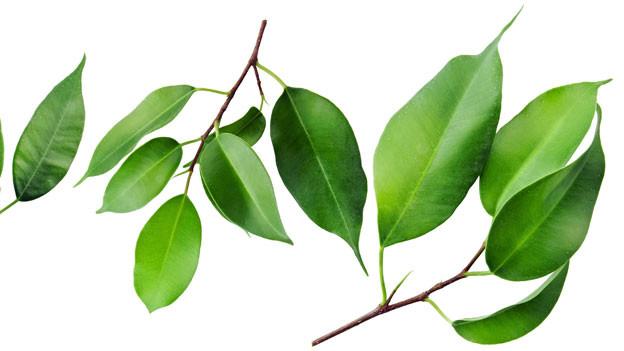 Der Ficus will beachtet sein