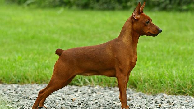 Egal ob Hundehalter oder nicht: Die Körpersprache eines Hundes zu verstehen, ist in jedem Fall von Vorteil.