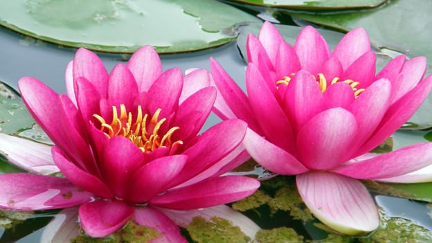 Die Lotusblüte ist ein Symbol für Ruhe und Meditation.