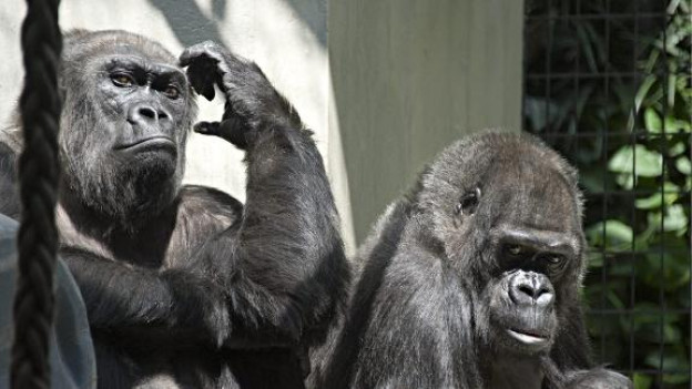 Gorillas im Basler Zolli.