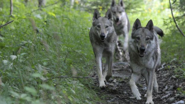 Wölfe im Churer Rheintal