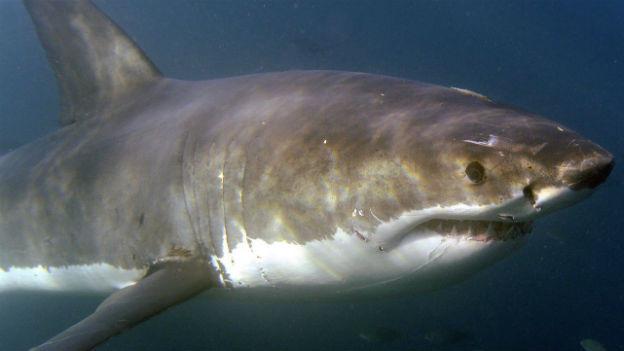 Höhere Wassertemperaturen treiben Haie in Küstennähe