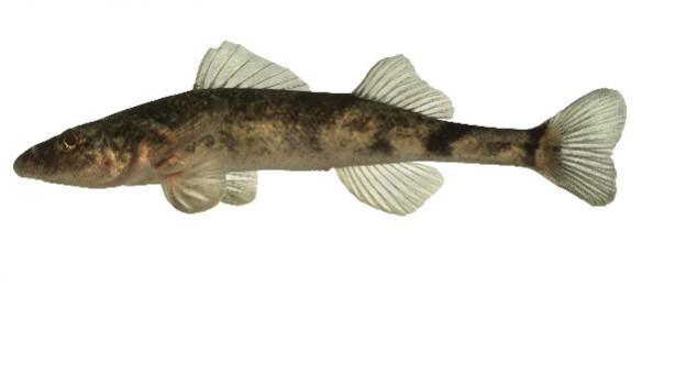 Bedroht: Der Roi du Doubs war schon immer ein seltener Fisch.