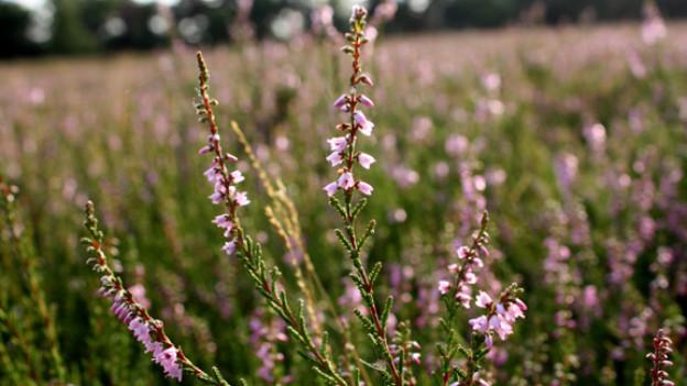 Heidekraut (Calluna vulgaris).