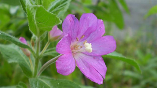 Das kleinblütige Weidenröschen (Epilobium parviflorum).
