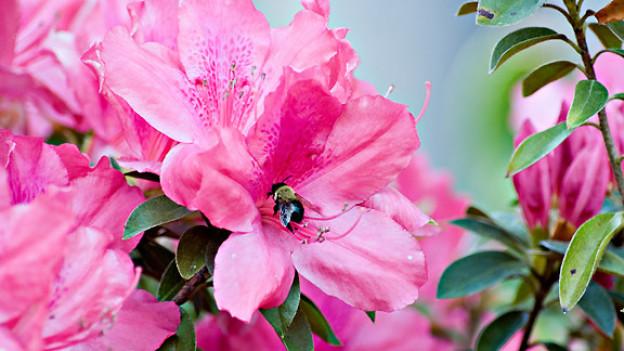 Azaleenblüte.