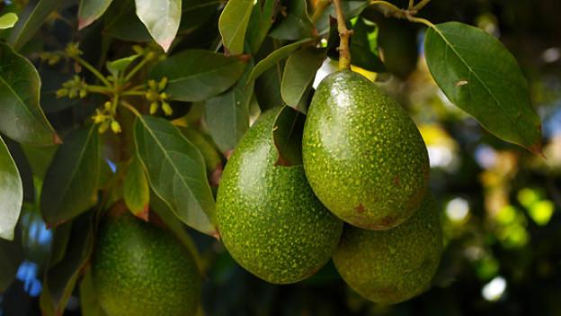 Avocadobaum.
