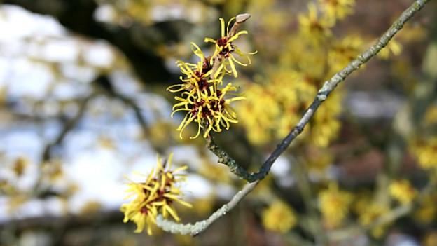 Hamamelis-Blüte. Die Pflanze ist auch als Zaubernuss bekannt.