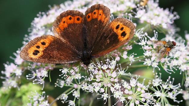 Ein Schmetterling lässt sich auf Giersch nieder.