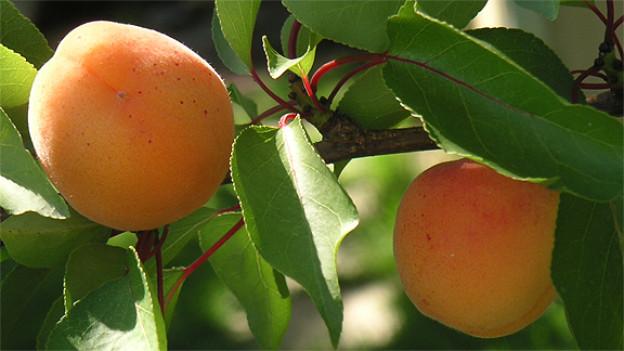 Sofort nach der Ernte werden bei Aprikosenbäume die jungen Langtriebe geschnitten.