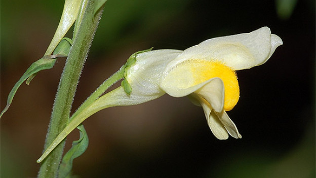 Frauenflachs-Blüte.