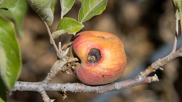 Faulender Apfel.