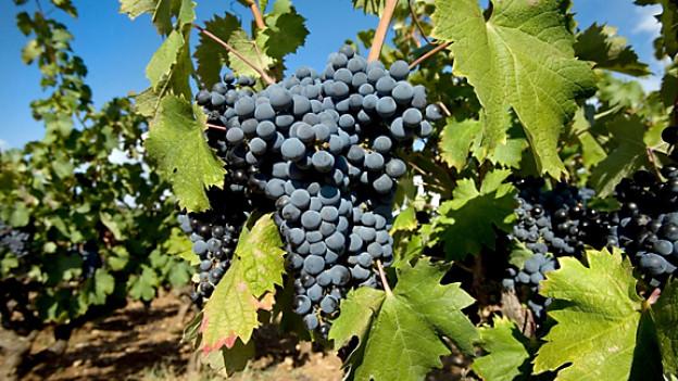 Weinberg in der Provence.