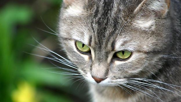 «Busi», «Büsi», «Büseli» oder «Busle» als Mundartwort für Katze ist der zweite Worteil für das Schimpf-oder Kosewort «Schunggebusle».