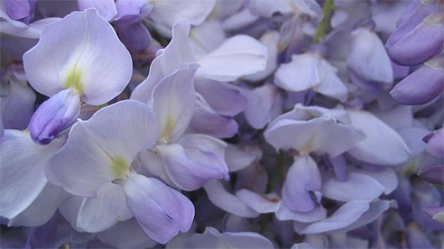 Wunderschöne Blütenpracht.