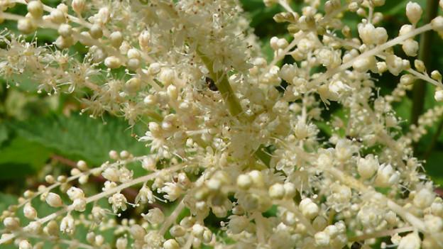 Der Wald-Geissbart hellt dunkle Balkone auf, verbreitet mit seiner weissen Blütenwolke Charme und zieht Hummeln magisch an - ein Highlight im Juli und August!
