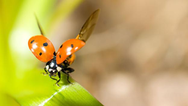 Ein Marienkäfer setzt zum Abflug an.