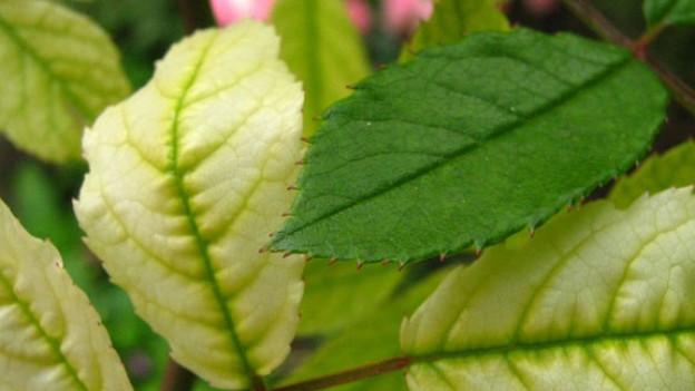 Vergilbte Rosenblätter haben verschiedene Ursachen.