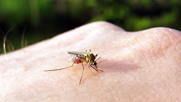 Der Stich einer Mücke ist in der Regel harmlos. Durch intensives Kratzen kann sich die Stichstelle allerdings entzünden, schlimmstenfalls kann es zu einer Blutvergiftung kommen.