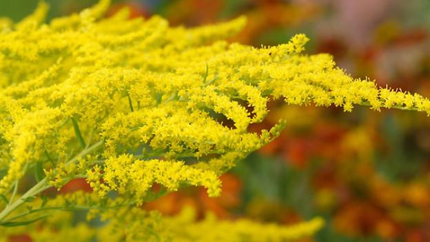 Kanadische Goldrute: Schön fürs Auge, schlecht für die einheimische Flora.