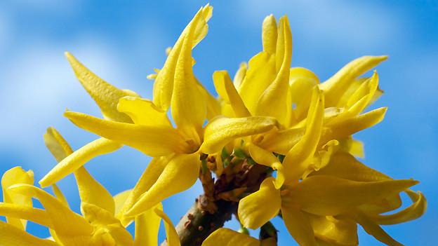 Die Forsythie gehört zu den Frühlingsblühern. Diese Straucharten werden erst nach der Blüte zurück geschnitten.