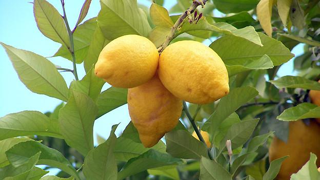 Der Zitronenbaum gehört zur Familie der Rautengewächse, die sich durch gröne bis orangefarbene Früchte auszeichnen.
