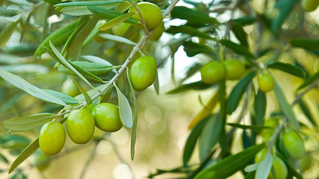 Olivenbäume sind immergrüne Bäume oder Sträucher, die eine Höhe von zehn Metern und mehr erreichen können. Die Gattung enthält etwa zwanzig Arten, wobei die häufigste und wichtigste Art die im Mittelmeergebiet heimische Olive ist.