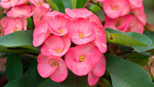 Christusdorn mit zart-rosa Blüte.
