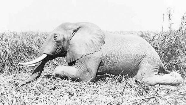 Liegender Elefant (ca. 1900 - 1914).