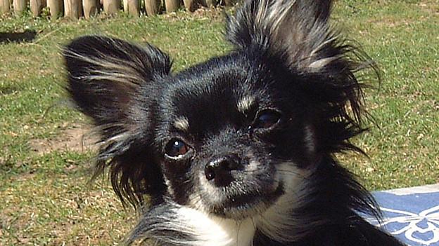 Schwarzweisser Chihuahua schaut liebreizend in die Kamera.
