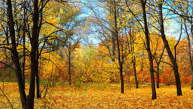 Im Laub eines Herbstwaldes lässt sich genussvoll «tschiengge», auch wenn damit ursprünglich «auf krummen Beinen» gemeint war.
