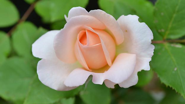 Um sich im Sommer an wohl duftenden Rosen zu erfreuen, wird der Boden im Rosenbeet schon im Februar vorbereitet.